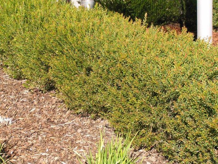 Melaleuca Nesophila - Little Nessie - native small hedge, gorgeous.