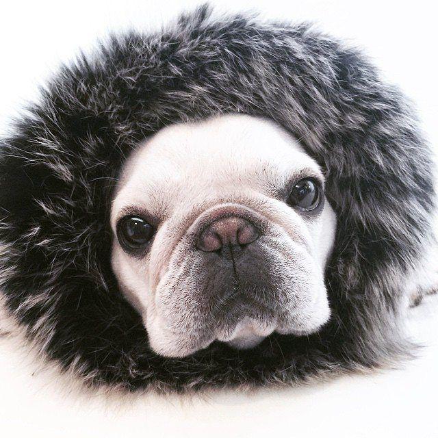 French Bulldog, Instagram photo by @frenchie.world via ink361.com