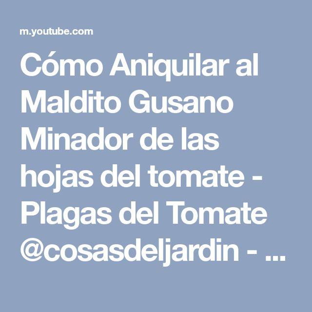 Cómo Aniquilar al Maldito Gusano Minador de las hojas del tomate - Plagas del Tomate @cosasdeljardin - YouTube