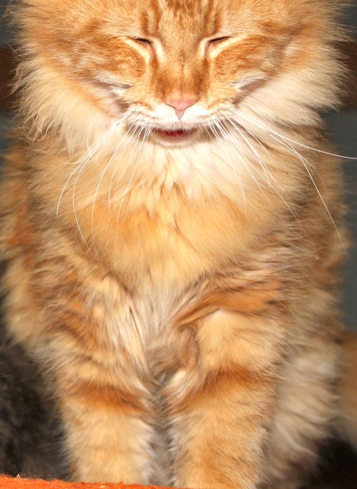 Cute Fluffy Orange And White Kitten Stock Photo - Getty Images  |Fluffy Orange Kittens
