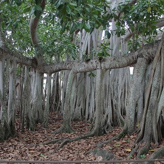 11 Stunning Florida Towns You Need To Visit  Banyon Tree, Fort Myers, FL