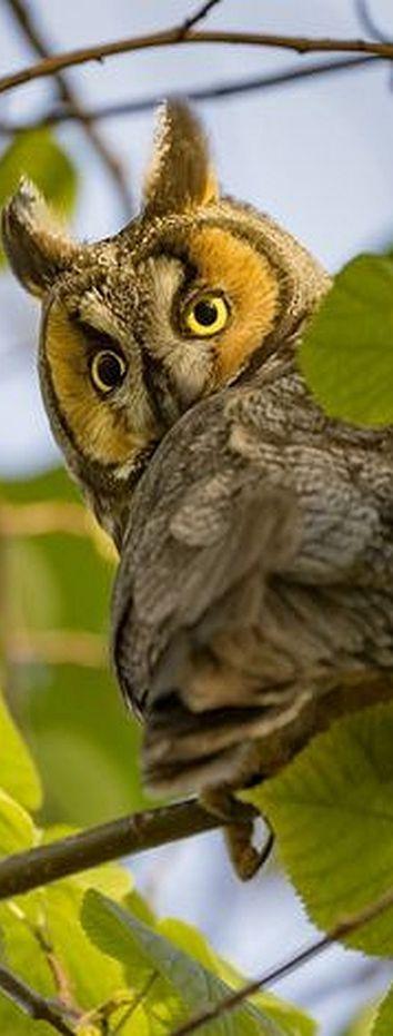 long eared owl #by Bobo