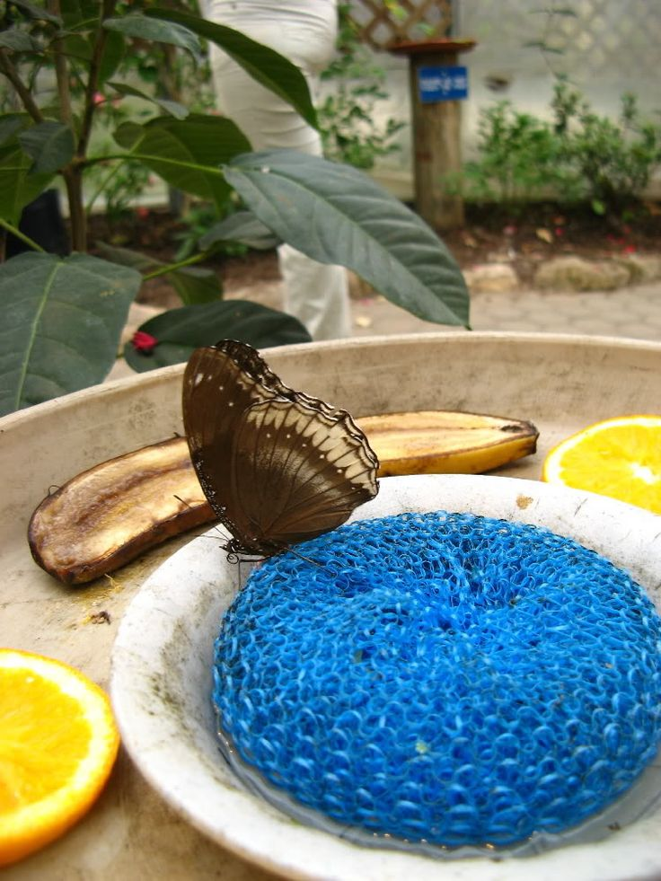 Put a scouring pad in a shallow bowl, fill with sugar water, and set outside.  The butterflies will come.