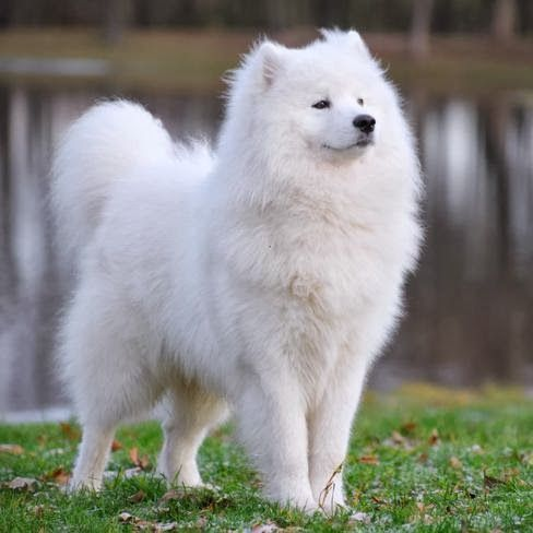 Samoyed stands first among the 5 most expensive dog breeds, click the pic for complete list