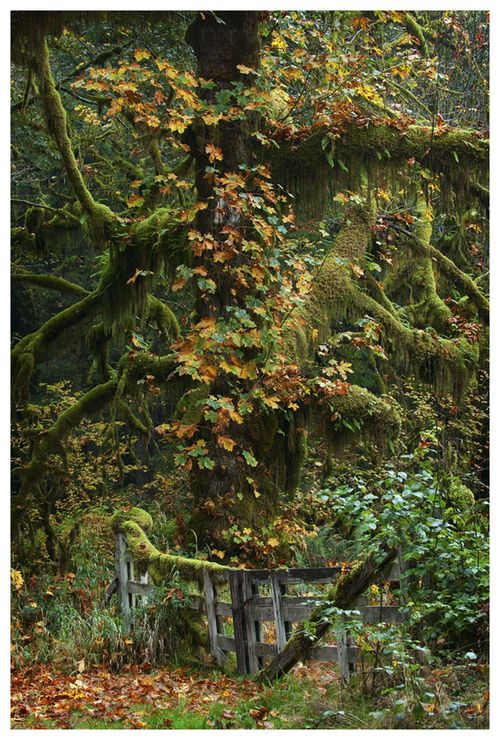Autumn TapestryAwesome Trees, Gary Kuiken, Autumn Enchanted, Hoh Rainforests, Mothers Nature, Gardens Gates, Rain Forests, Places, Autumnmi Favorite