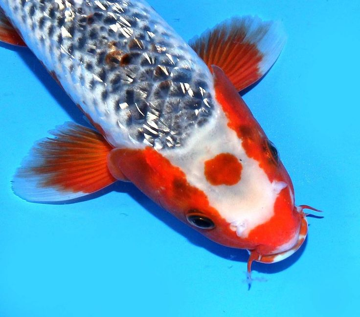 417 best images about koi fish on pinterest 14 zippers for Where do koi fish live