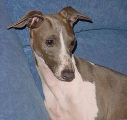 italian greyhound | Italian Greyhound puppies for sale. Italian Greyhound puppies for sale ...