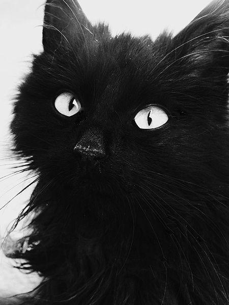black, black and white, cat, dark, eyes - More at - Catsincare.com