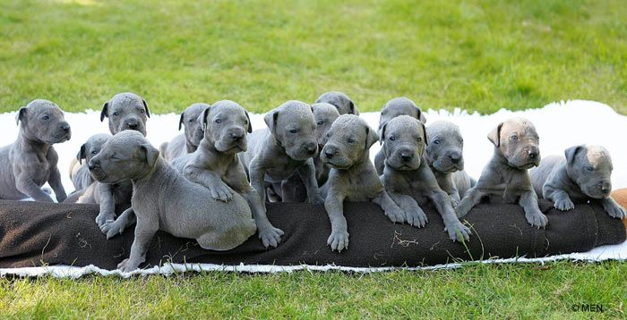 Great dane puppies! I want the whole litter.