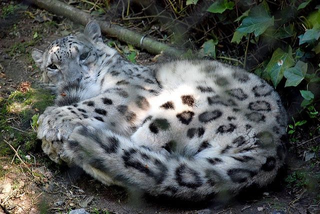 Snow Leopard Tail Nomming Compilation Because Inside Out With Images Snow Leopard Animals Are Beautiful People Leopards