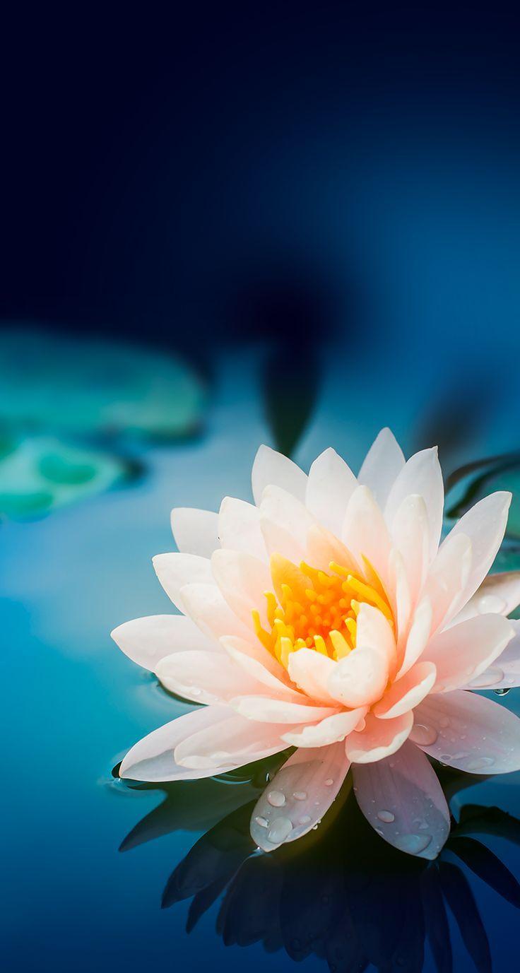 Wallpaper iPhone Lotus flower wallpaper, Lily wallpaper