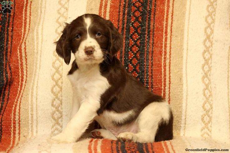 Aiden, English Springer Spaniel Puppy