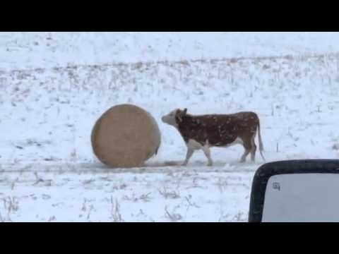 These Montana Cows Can't Get Enough of Their Hay Bales