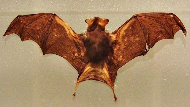 How big are vampire bats? Vampire Bat Facts – Questions And Answers!