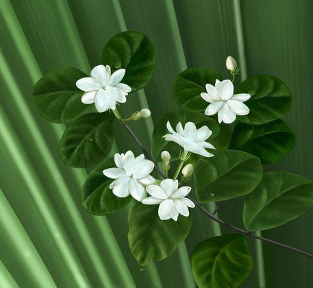 Sampaguita Philippine National flower