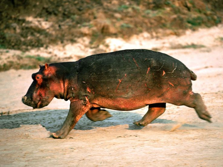 Name:Cute Animal Baby Hippopotamus Running On Rock Pictures.Jpg   ,animals wallpapers,best,photos,pictures,wallpapers,stock,images