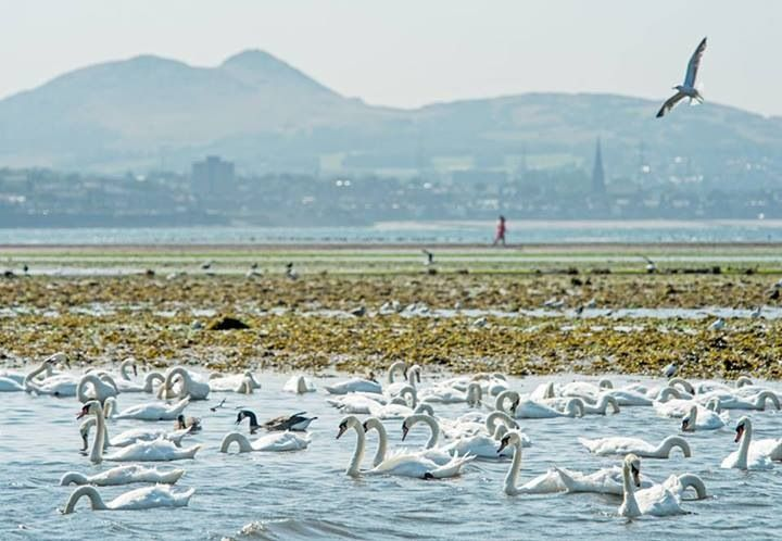 Swans at the estuary of the river Esk, Musselburgh. Looking back to Edinburgh. Photo by P. Wilkinson.