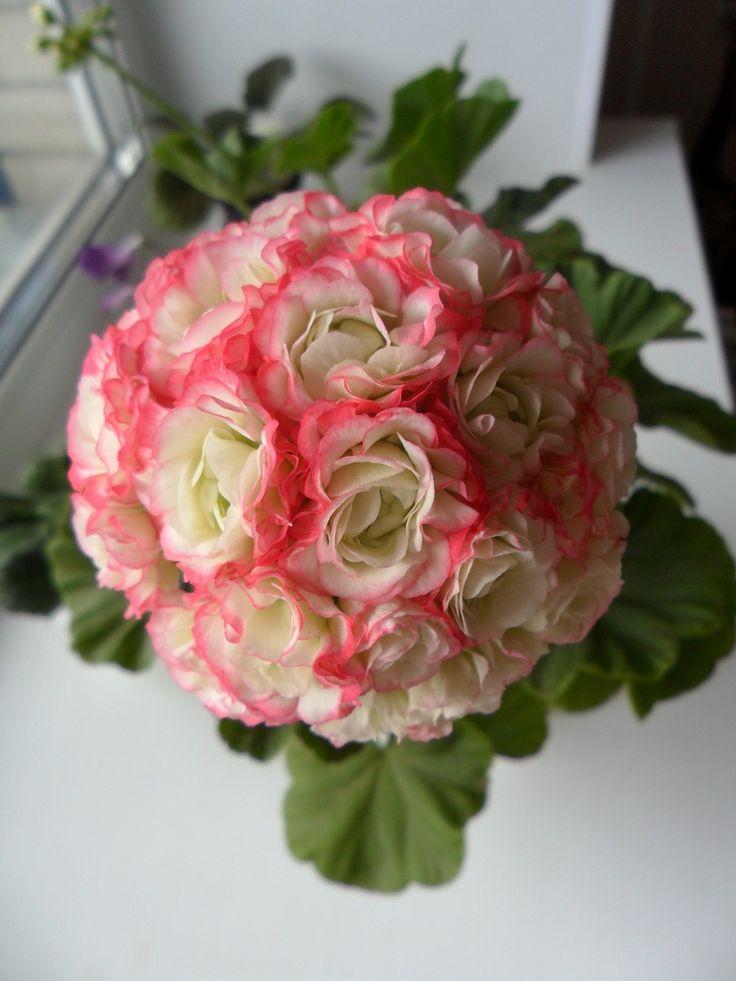 Apple blossom rosebud bonsa s fleurs bouquets originaux pinterest g raniums bouquet - Beau jardin rose and geranium ...