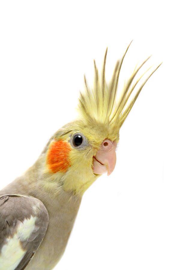 Cockatiel displaying....