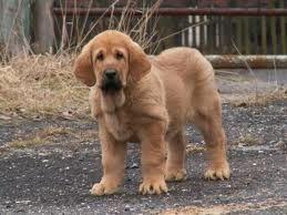 Spanish Mastiff / Mastín Español Leonés #Dogs #Puppy
