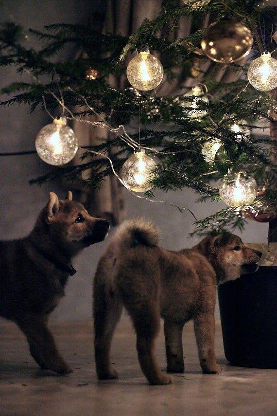 Новогодние сиба-ину. Заводчик собак шиба-ину. Чемпионы японская собака породы шиба-ину щенки купить. Сиба-ину японские собаки племенной питомник.