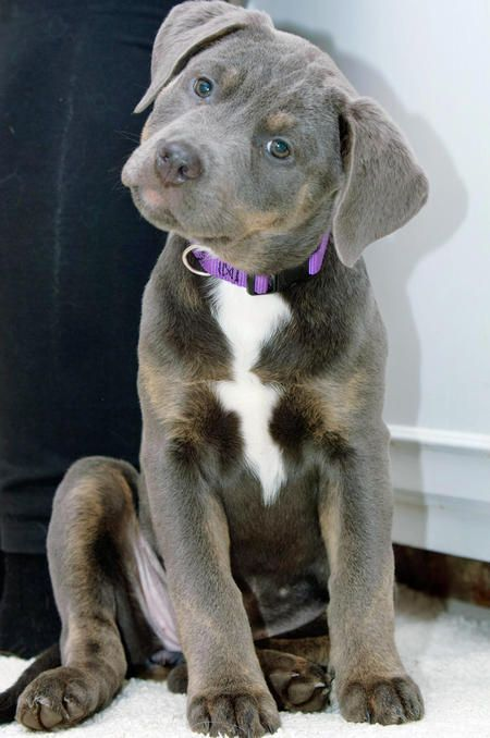 Luna the Plott Hound and American Pit Bull Terrier Mix