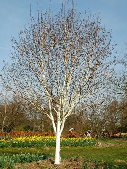 Betula utilis var. jacquemontii 'Silver Shadow'  (Himalayan Birch) - Perhaps some of the finest and most unblemished white bark of any Birch we have seen and grows to be a smaller and more dainty tree than the other silver barked birches. Suitable for small gardens.