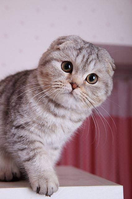 "The Scottish Fold is a breed of cat with a natural dominant-gene mutation that makes its ear cartilage contain a fold, causing the ears to bend forward and down towards the front of their head, which gives the cat what is often described as an ""owl-like"" appearance. Originally called lop-eared or just lops after the lop-eared rabbit, Scottish Fold became the breed's name in 1966."
