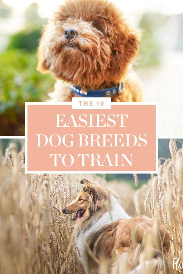 The 10 Easiest Dog Breeds To Train Smartest Dog Breeds Dog