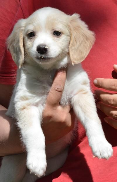 Meet Cersei, an adoptable Beagle looking for a forever home. If you're looking for a new pet to adopt or want information on how to get involved with adoptable pets, Petfinder.com is a great resource.