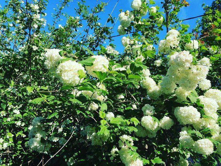 En güzel mutfak paylaşımları için kanalımıza abone olunuz. http://www.kadinika.com Bahar çiçekleri.   #spring  #güzel  #yeşil  #çiçek  #çiçekler  #bahar  #beyaz  #mavi  #gökyüzü  #sky  #blue  #bunuseviyorum  #hayatburada  #mutfakgram  #beautiful