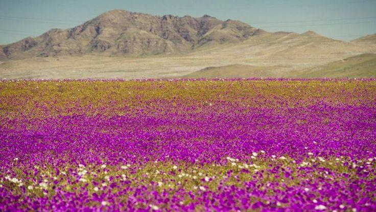 Sorpresa nel deserto di Atacama: spuntano fiori con cinque anni d'anticipo - La Stampa