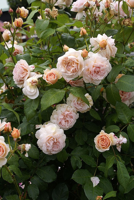 Sweet Juliet, English Rose by Peter Karlsson, via Flickr