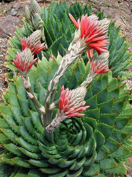 Water wise & native plants of California  - Aloe polyphylla (Spiral aloe)