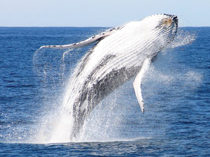 Moonshadow Cruises was voted BEST Major Tour Operator In NSW – 2012 Gold Winner. Encouter Dolphins and Whales on a memorable cruising experience aboard the largest and most luxurious vessels in the Port. Nelson Bay, Port Stephens.