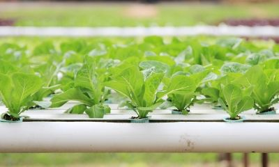 Soilless culture and its benefits - perlite and coco are great growing medium. More on www.perlite.it/it/agricoltura
