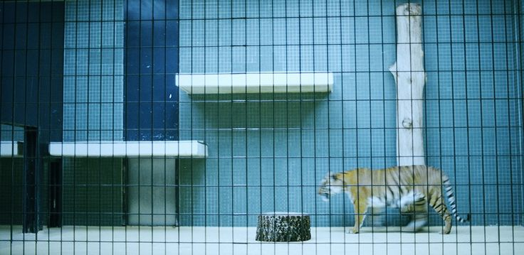 """""""Tiger"""" by Anna Sundström. #photography #art #blue #tiger #animal #squares #zoo   Available at: http://www.arrivals.se/product/tiger-by-anna-sandstrom"""