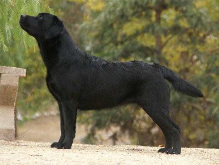 American Labrador Retriever