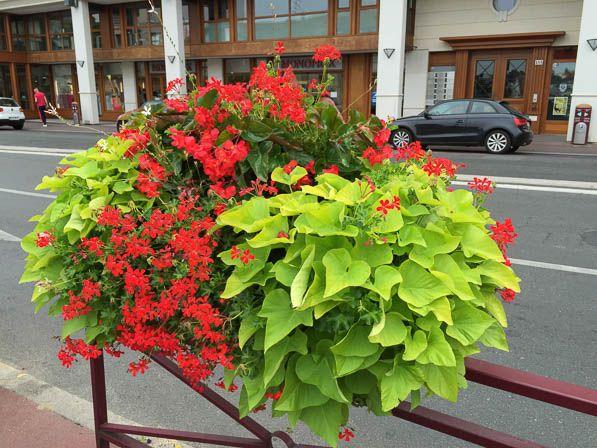 Jardini re de ville avec patate douce g ranium lierre et b gonia 39 dragon wing 39 sceaux 92 - Acheter plant de patate douce ...