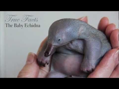 baby echidnas