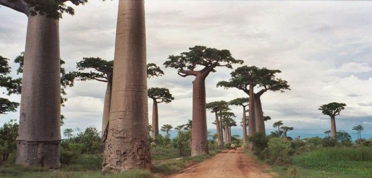 Baobab path, Madagascar