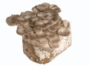 mushroom mini farm: Avid Mushrooms, Mushrooms Minifarm, Minis Farms 20, Mushrooms Fans, Trees Oysters, Oysters Mushrooms, Mini Farm, Mushrooms Bud, Mushrooms Minis Farms