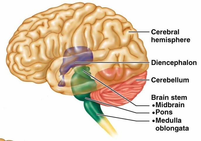 Brain regions medical pinterest brain ccuart Gallery