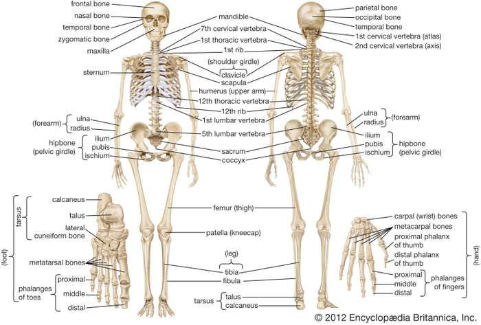 Human Skeleton Parts Functions Diagram Facts Skeletal System Anatomy Human Skeletal System Human Body Bones