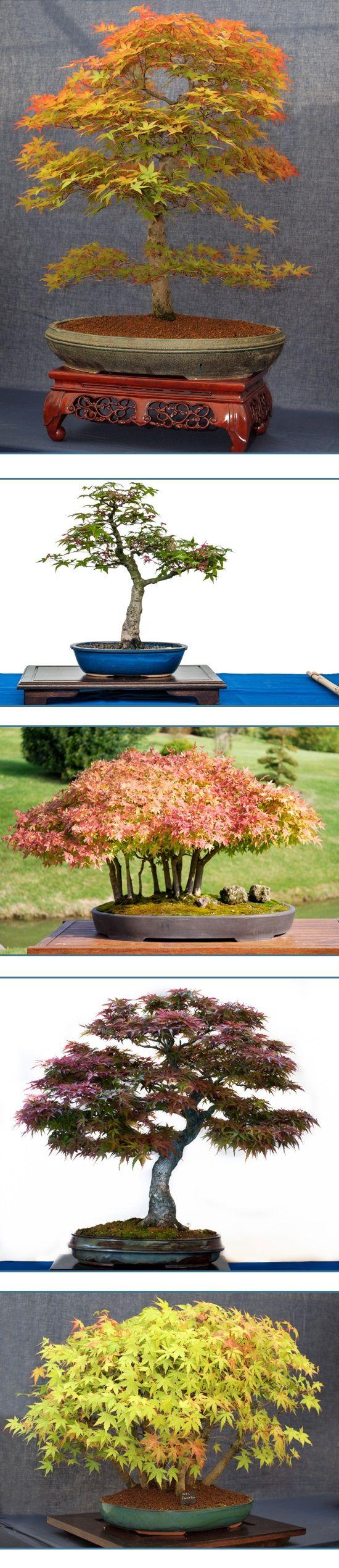 El arce japonés bonsái es uno de los árboles enanos más decorativo. Su belleza en miniatura crea verdaderos adeptos porque con más de 150 variedades es fácil encontrar una al gusto de cada uno y tiene la ventaja de que sus colores van cambiando con las estaciones de rojos intensos a naranjas y amarillos verdosos. …