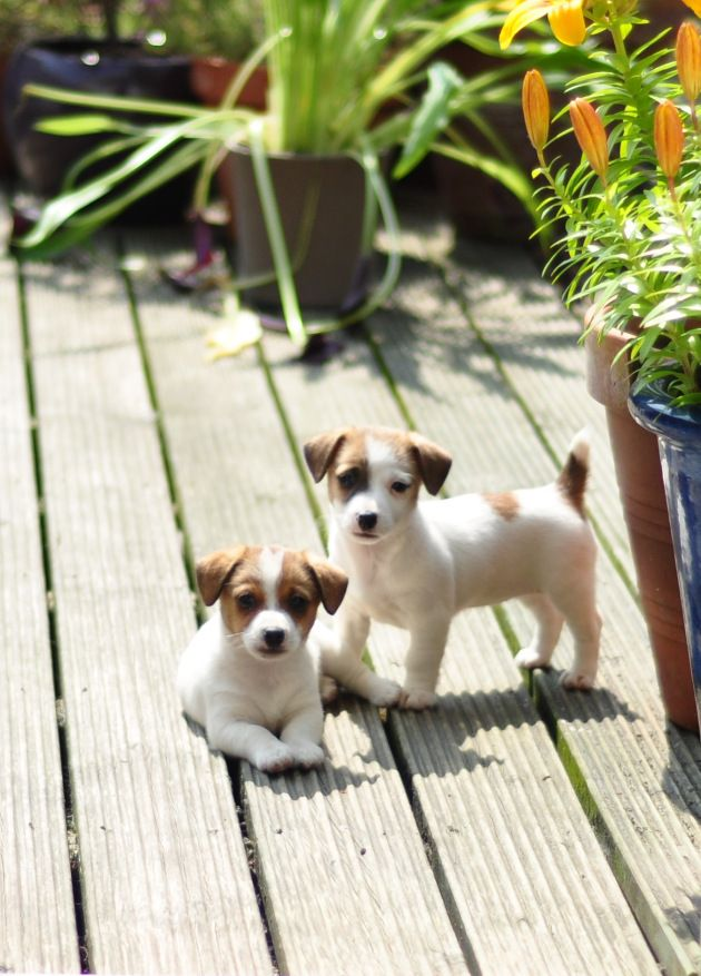 Jack Russells terrier puppies