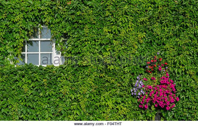 Parthenocissus quinquefolia. Virginia Creeper / American ivy covering a house front. Henley on Thames, Oxfordshire. - Stock Image