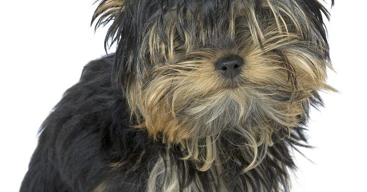 A raça snorkie. Os snorkies são cães que resultam do cruzamento do Schnauzer Miniatura com o Yorkshire Terrier. Estes cães podem refletir as características de ambas as raças, então é difícil de determinar sua descrição precisa. Uma lista de características padrão da raça para este cão mestiço não existe e não existirá até que muitos cruzamentos multi-geracionais ...