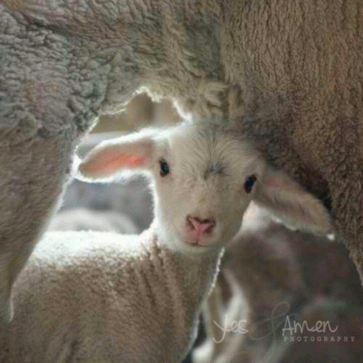 Bildergebnis für Der Fuchs frisst Lamm
