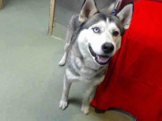 Www Petharbor Com Pet Sbco1 A709500 Pets White Husky Dogs Puppies